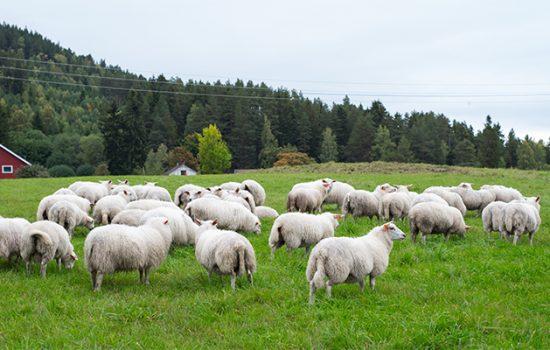 herd-sheep-grazing-pasture-during-daytime-550x350